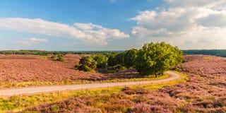 Panoramisch beeld van bloeiende heide in Veluwe royalty-vrije stock foto's