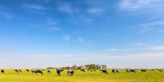 Panoramisch beeld van melkkoeien op het Nederlandse Eiland Texel stock foto's