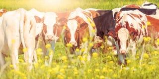 Panoramisch beeld van Nederlandse melkkoeien in de zomer stock foto