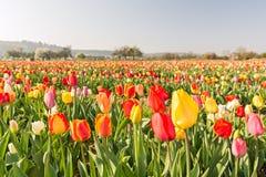 Panoramisch schot van tulpengebied stock fotografie