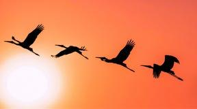 Panoramisch Silhouet van Geschilderde Ooievaar die tegen het plaatsen vliegen stock afbeelding