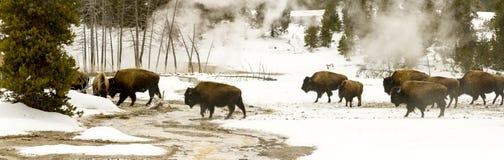 Panoramisch uitzicht van kudde van bizon of Amerikaanse buffels in Hoger Duitsland Stock Foto