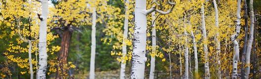 Panoramisch von den Espenbäumen Stockfoto