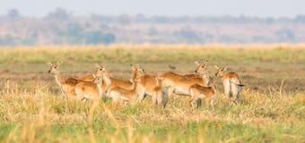 Panoramisch von roter lechwe Herde lizenzfreie stockfotografie