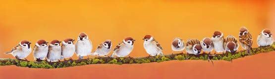 Panoramische Fahne vieler lustigen kleinen Vogelspatzen auf einem Br stockfotos