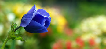 Panoramische Frühlingsblumen - konkurrieren Sie Lizenzfreies Stockbild