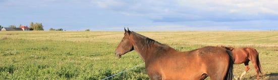 Panoramische Landschaft mit Pferden Lizenzfreie Stockfotos