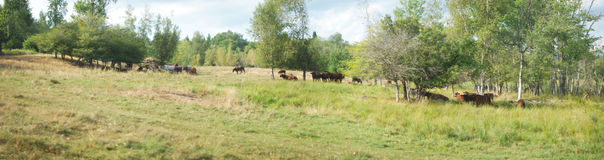 Panoramische Landweidelandschaft mit Kühen und Bäumen Lizenzfreie Stockbilder