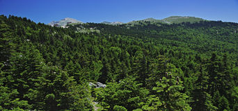 Panoramischer Berg mit Kieferwald Lizenzfreie Stockfotos