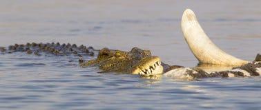 Panoramisches Bild des afrikanischen Krokodils einziehend auf toten Elefanten Lizenzfreie Stockbilder