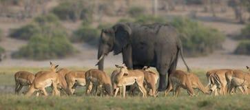 Panoramisches Bild einer Herde der Gazellen und des Elefanten der Bewilligung Stockfoto