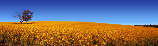 Panoramisches Feld Lizenzfreies Stockbild