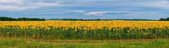 Panoramisches Foto eines großen Feldes mit Sonnenblumen Gegen den Hintergrund des Himmels sehen sie wie viele Sonnen blendend aus Stockfotos