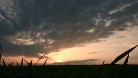 Panoramisches Schattenbild eines grünen Weizenfeldes gegen den Hintergrund der untergehenden Sonne und des epischen Himmels mit S stock video footage
