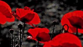Panoramma, cableado horizontal Fondo rojo y negro Rojo, blando, aire, amapola vivificante almacen de metraje de vídeo