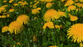Panoramma on a dandelion flower stock footage
