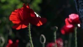 Panoramma, Frontalaufprall Blühende Mohnblumen Mohnblumenoriginalität Reflexion des Lichtes in den Mohnblumenblumenblättern stock video footage