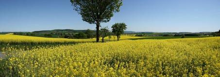 panoramy rapeseed Fotografia Stock
