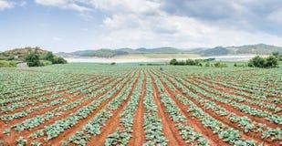 Panoramy warzywa Zielony pole Zdjęcia Royalty Free