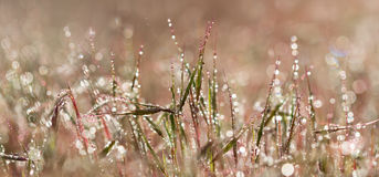 Panoranic view closeup pink grass with droplets of dew in the morning sun Stock Images