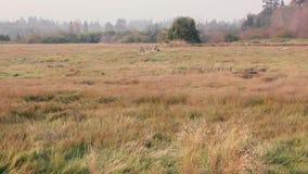 Panorera över dold marsklan för gräs i västra washington lager videofilmer