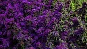 Panorera över mogna marijuanaväxter under purpurfärgade ljus stock video