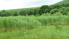Panorera över Reed Landscape arkivfilmer