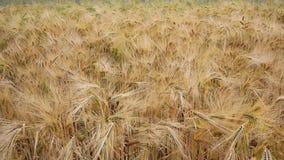 Panorera över vetefält lager videofilmer