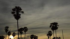 Panorera av konturtoddypalmträdet på solnedgånghimmel i risfältfält lager videofilmer