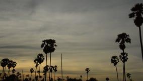 Panorera av konturtoddypalmträdet på solnedgånghimmel i risfältfält stock video
