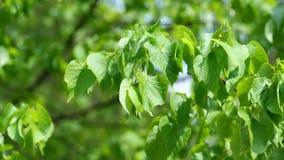 Panorera sikt av sidor av trädet Eucommia Ulmoides i försiktig vind lager videofilmer