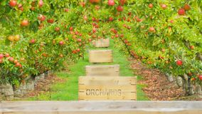 Panorera skottet av äppleträd och träfack i en fruktträdgård arkivfilmer