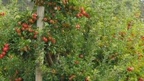 Panorera skottet av äppleträd som täckas i mogna äpplen stock video