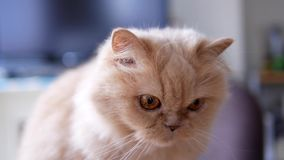 Panorera skottet av sammanträde för den persiska katten på tabellen och att spela arkivfilmer