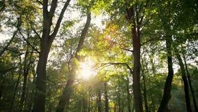 Panorera skottet av solen som skiner med signalljuset till och med träden i skog i höst arkivfilmer