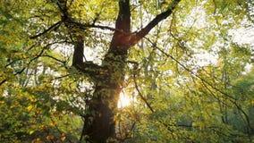 Panorera skottet av solen som skiner till och med gröna sidor av ett stort träd i guld- höst stock video
