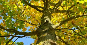Panorera skottet av trädet i höst Gulingsidor på filialer stock video