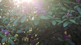 Panorera upp till och med rhododendron arkivfilmer