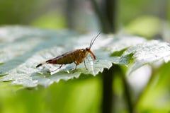 Panorpa草本种属在绿色叶子 库存照片