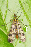 Panorpa communis / common scorpionfly. Close-up Stock Photography