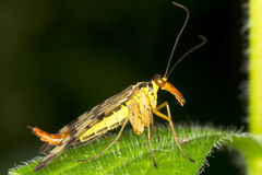 Panorpa communis / common scorpionfly Royalty Free Stock Images