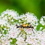 Panorpa Panorpidae Stockfotos