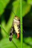 Panorpa vulgaris (scorpionflies) Fotografia Royalty Free