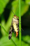 Panorpa vulgaris ( scorpionflies). In the forest, waiting for prey Royalty Free Stock Photography
