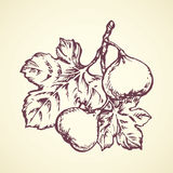 Panpipe. Vector drawing. Tasty raw fresh sappy Ficus carica fruitful isolated on white backdrop. Freehand outline ink hand drawn picture sketchy in retro art Stock Photography