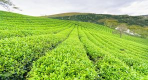 Panrama zielonej herbaty wzgórze w średniogórzach w ranku Obraz Royalty Free