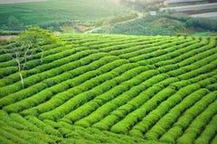 Panrama zielonej herbaty wzgórze w średniogórzach w ranku Obrazy Royalty Free