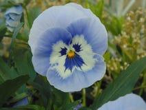 Pansé abbastanza blu del fiore con il fronte immagini stock