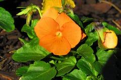 Pansé arancio con fogliame frondoso verde che luccica alla luce solare diretta di mattina fotografia stock