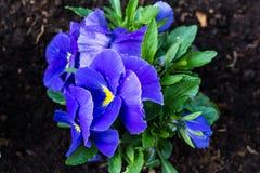Pansé blu nel giardino Immagini Stock